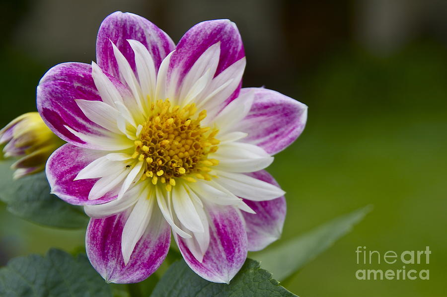 Tri-color Dwarf Dahlia Photograph  - Tri-color Dwarf Dahlia Fine Art Print