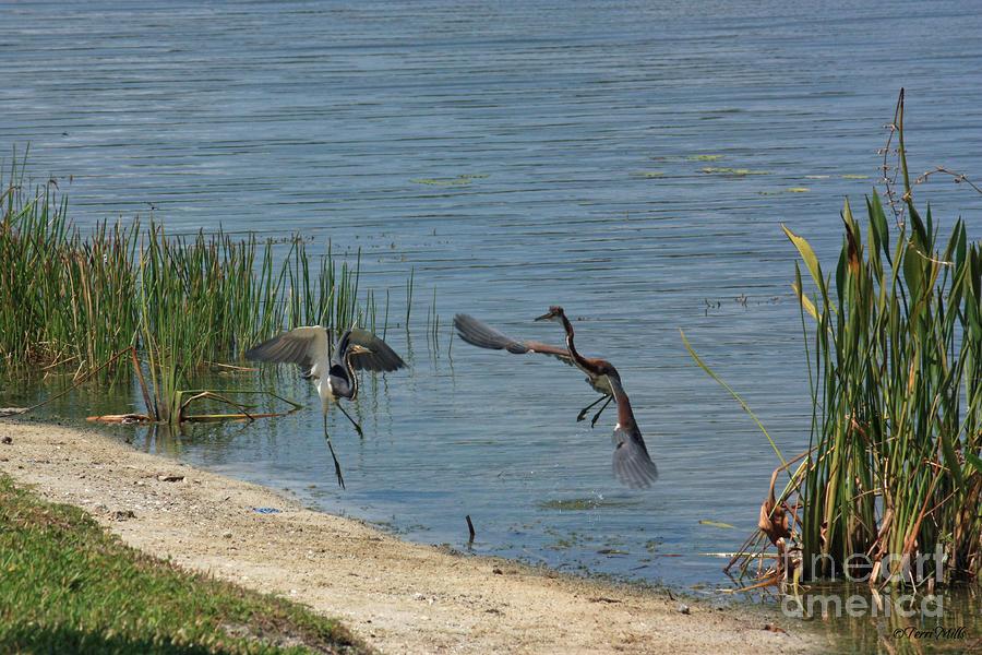 Tri-color Heron Dispute Photograph