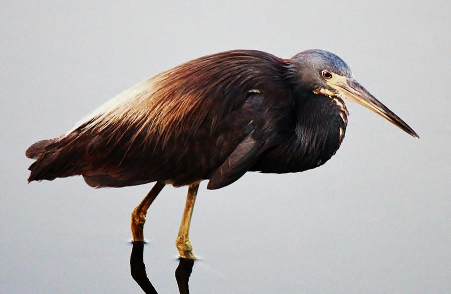 Tri-colored Heron Photograph  - Tri-colored Heron Fine Art Print