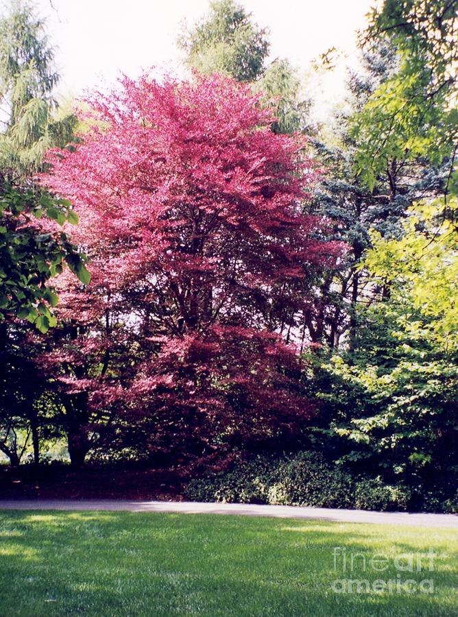 Tricolor beech