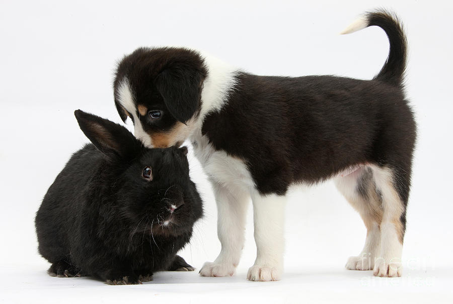 Tricolor Border Collie Pup With Black Photograph