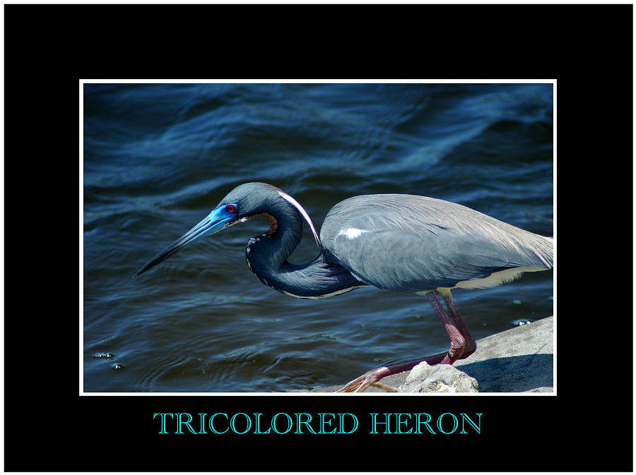 Tricolored Heron 2 Photograph  - Tricolored Heron 2 Fine Art Print