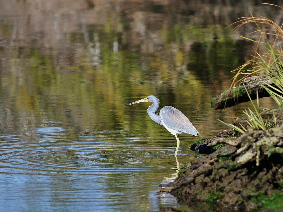 Tricolored Heron Fishing Photograph