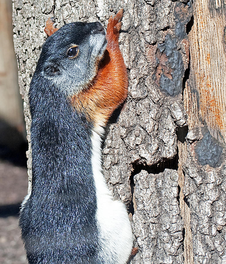 Tricolored Squirrel Photograph  - Tricolored Squirrel Fine Art Print