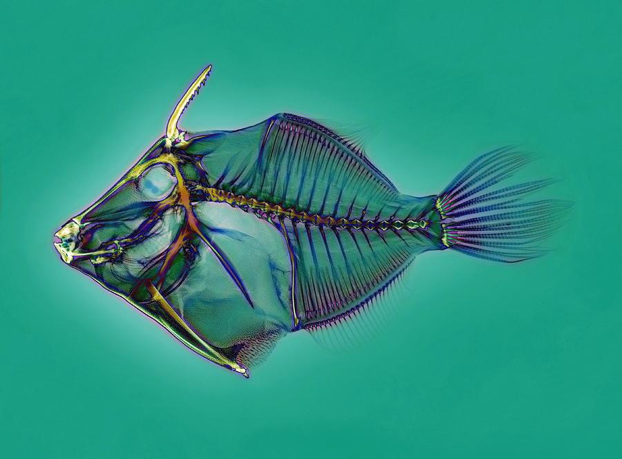 Triggerfish Skeleton, X-ray Photograph