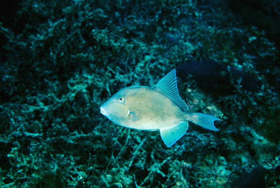 Triggerfish Swimming Over Coral Reef Photograph  - Triggerfish Swimming Over Coral Reef Fine Art Print