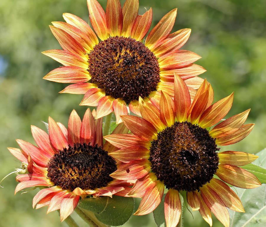 Sunflowers Photograph - Trio by Katherine White