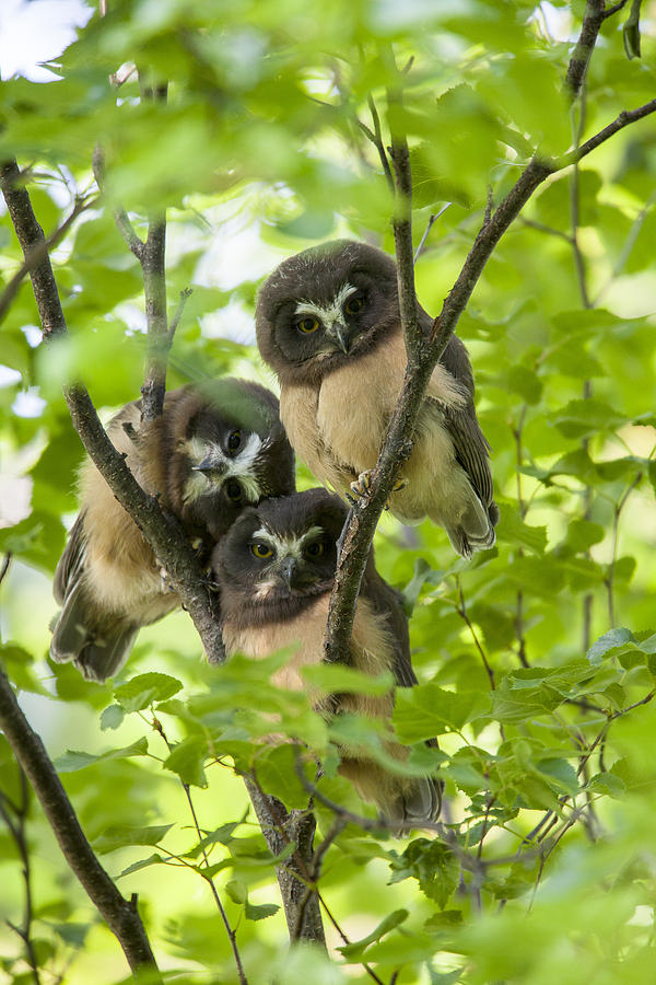 Triple Cute Saw-whet Owls Photograph  - Triple Cute Saw-whet Owls Fine Art Print