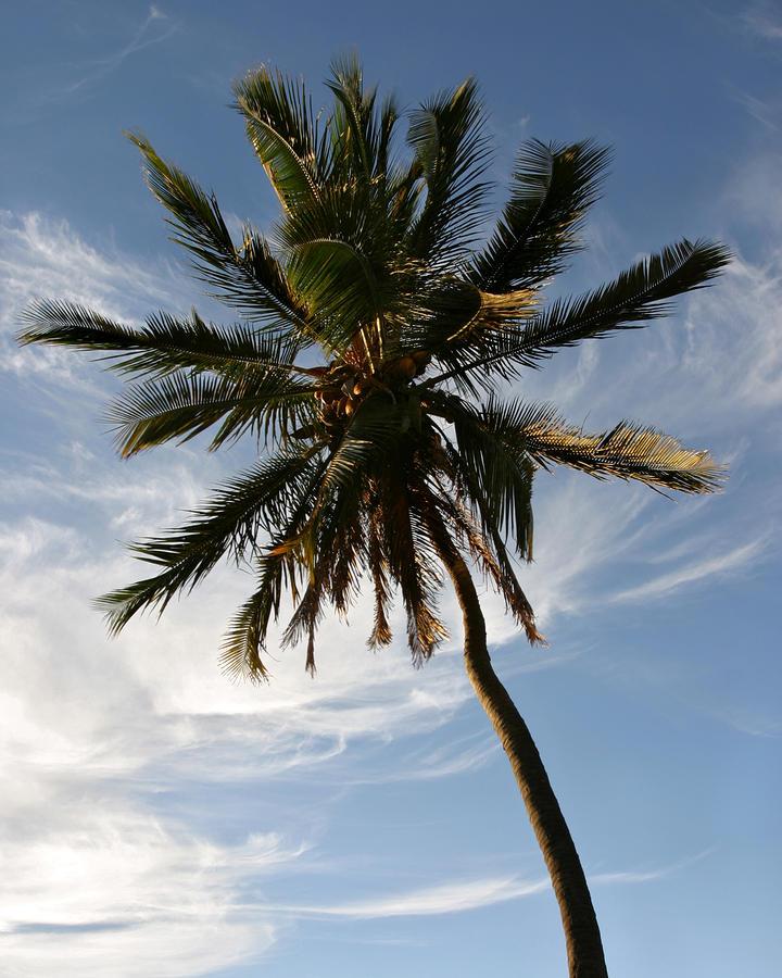 Tropical Coconut Palm Tree Maui Hawaii Photograph