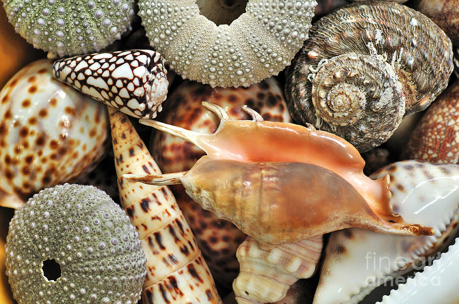 Tropical Shells Photograph  - Tropical Shells Fine Art Print