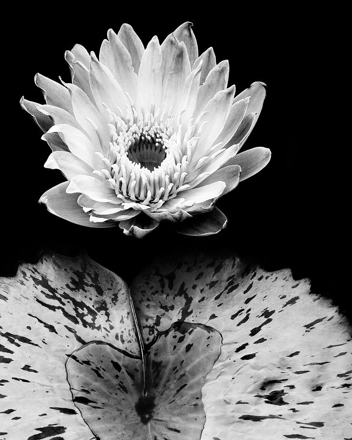 Water Lily Stencil Black And White: Tropical Water Lily In Black And White Photograph By