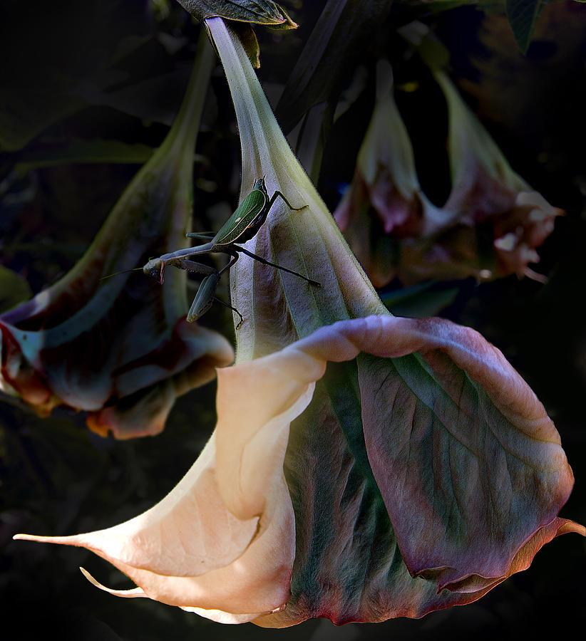 Trumpet Flower Photograph
