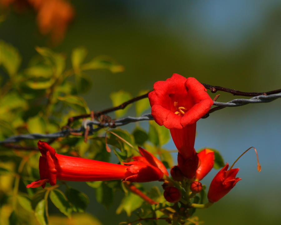 Trumpet Vine And Barb Wire  Photograph  - Trumpet Vine And Barb Wire  Fine Art Print