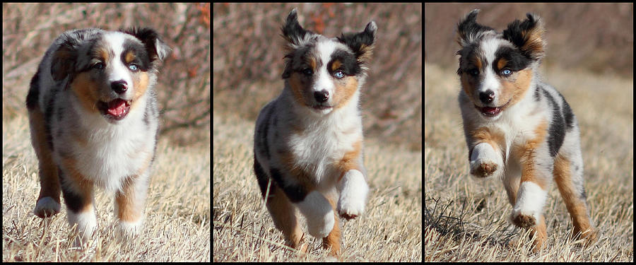 Horizontal Photograph - Tryptich Of Puppy Running by Pat Gaines