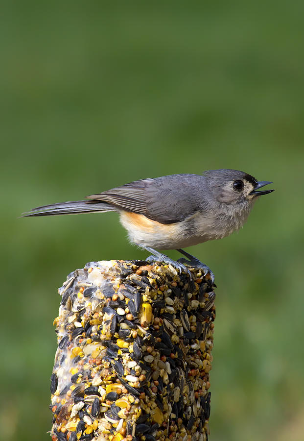 Tufted Titmouse Photograph - Tufted Titmouse On Treat by Bill Tiepelman