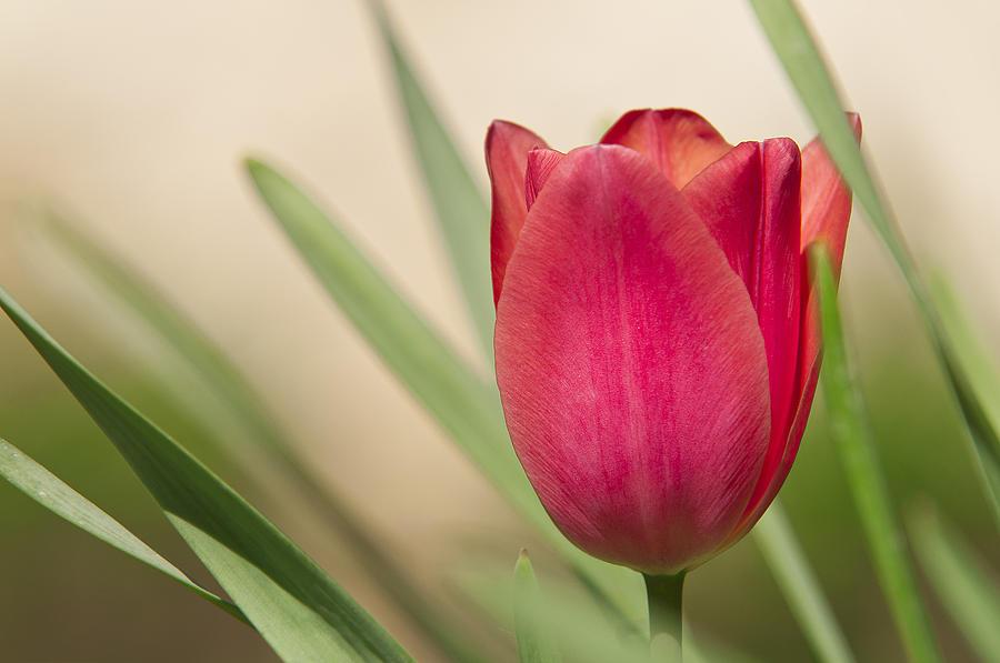 Tulip Photograph - Tulip by Alessandro Matarazzo