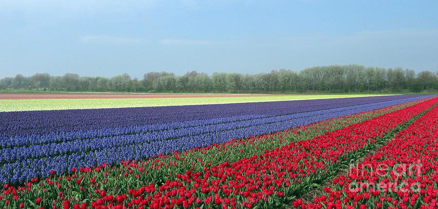 Tulip Fields Photograph - Tulip And Hyacinth Fields In Holland. Panorama by Ausra Huntington nee Paulauskaite