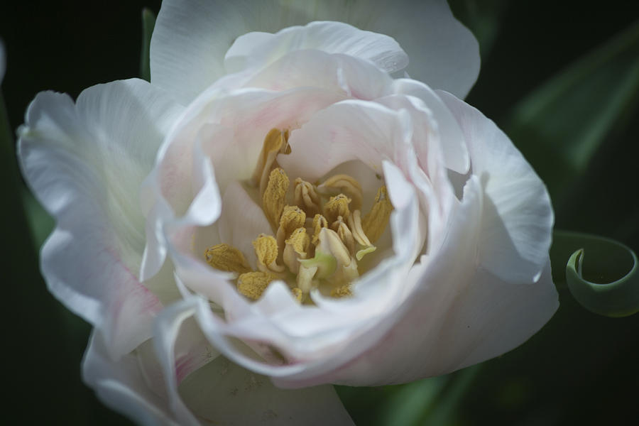 Tulip Blush Photograph  - Tulip Blush Fine Art Print
