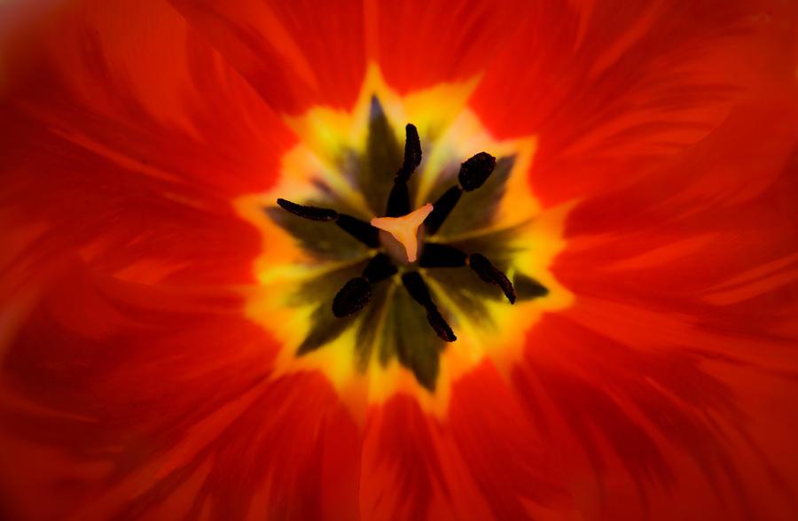 Tulip Explosion Kaleidoscope Photograph