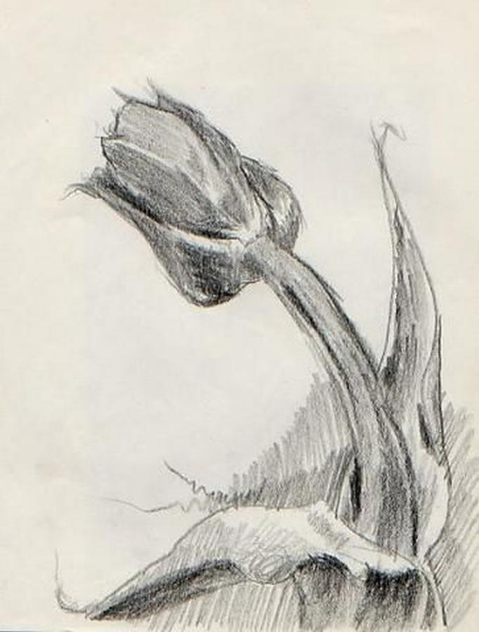 Displaying 18 gallery images for pencil drawing of tulips