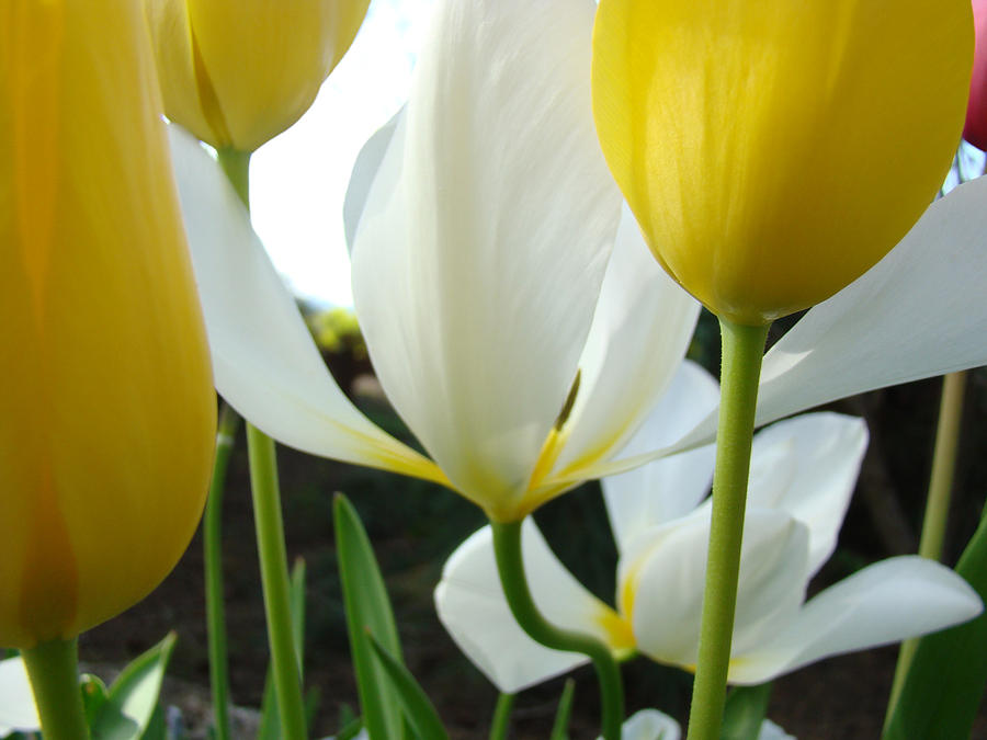 Tulip Flowers Art Prints Yellow White Tulips Floral Photograph