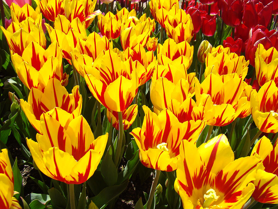 Tulip Flowers Festival Yellow Red Art Prints Tulips Photograph