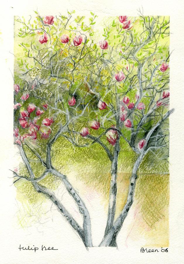 Magnolia Tulip Tree Facts Tulip Magnolia Tree Facts