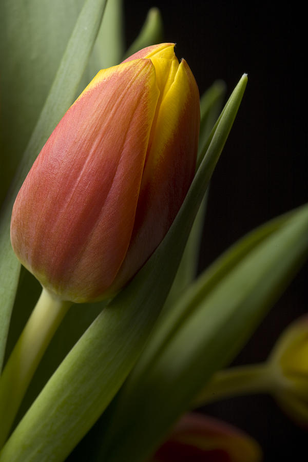 Tulip On Black Photograph