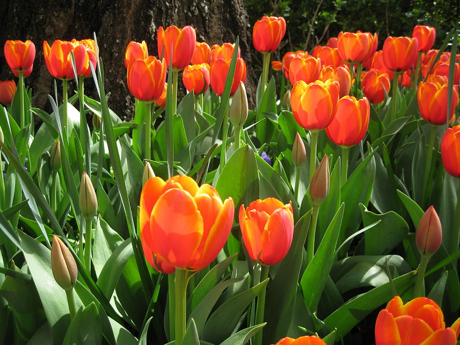 Tulip Time Photograph