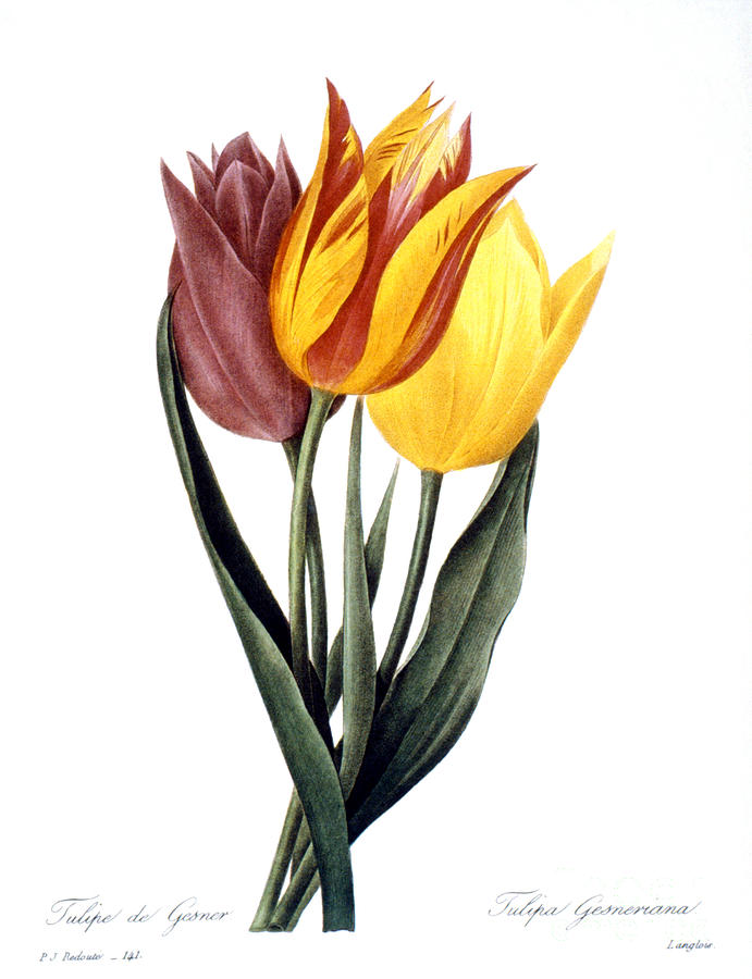 Tulip (tulipa Gesneriana) Photograph
