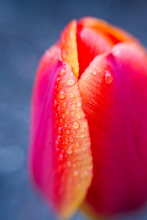 Tulip With Morning Dew 2 Photograph  - Tulip With Morning Dew 2 Fine Art Print