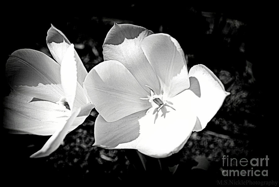 Black And White Tulip Photography Black And White Tulips