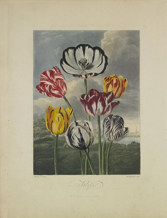 Tulips Drawing  - Tulips Fine Art Print