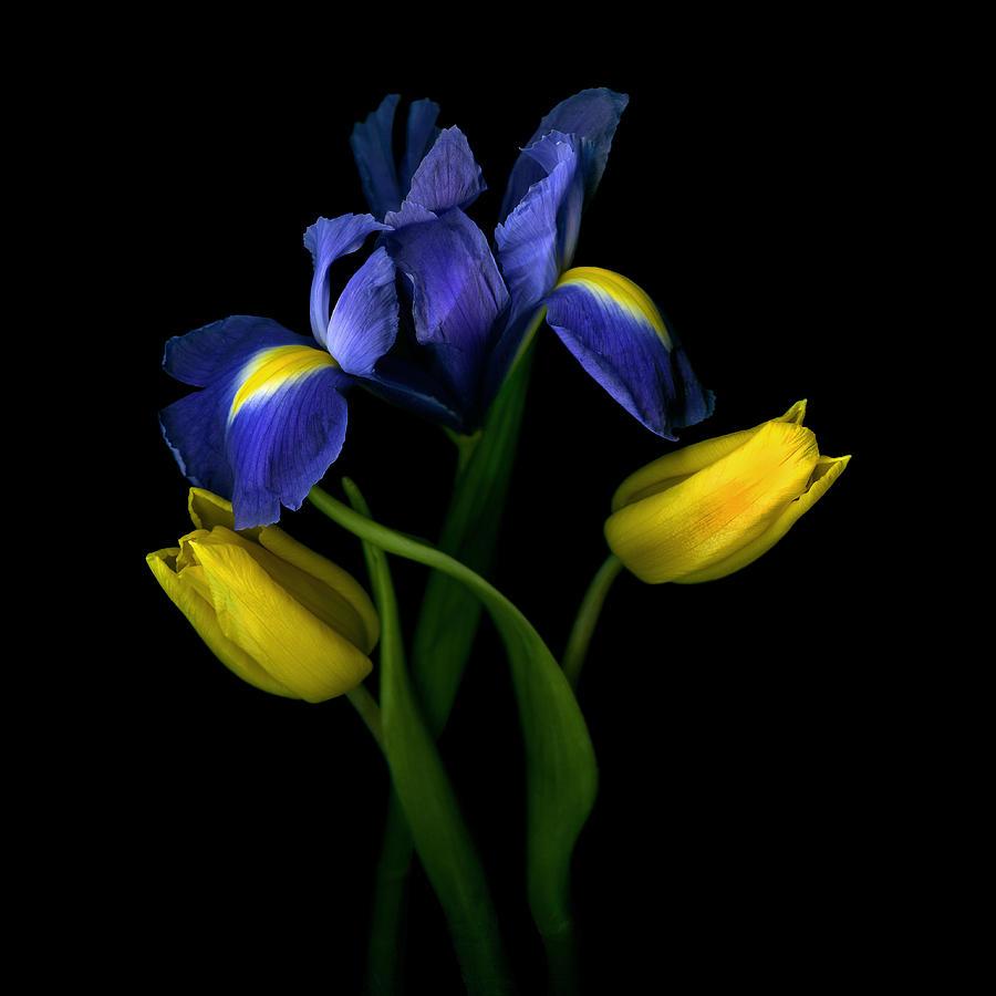 Tulips (tulipa) With Irises (iris) On Black Background