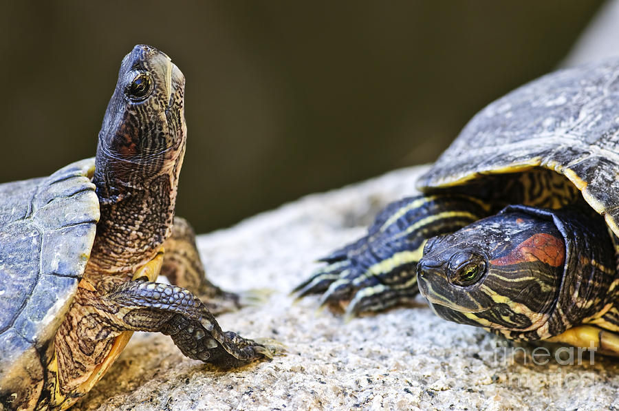 Turtle Conversation Photograph  - Turtle Conversation Fine Art Print