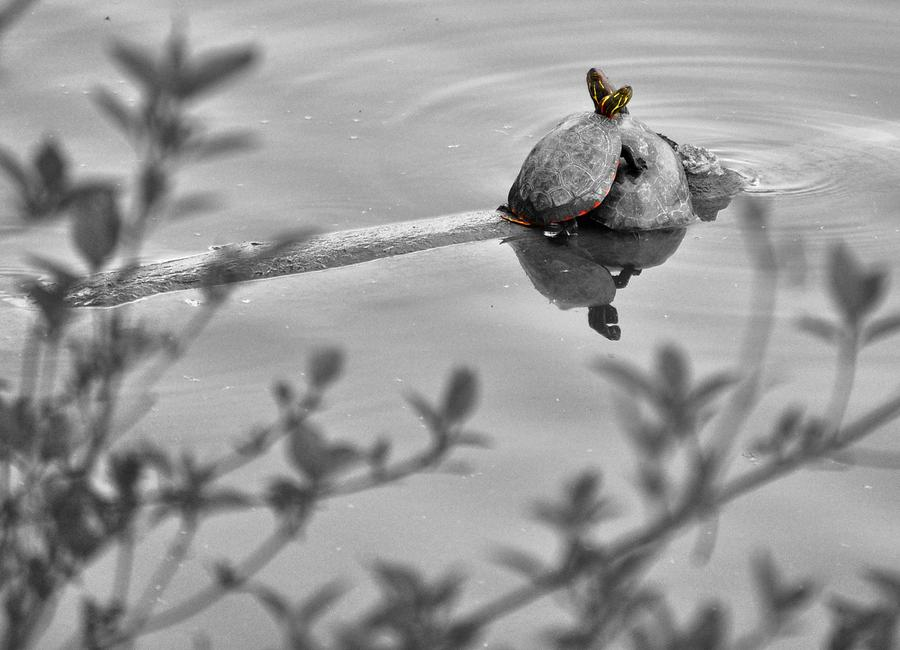 Turtle Love Photograph  - Turtle Love Fine Art Print