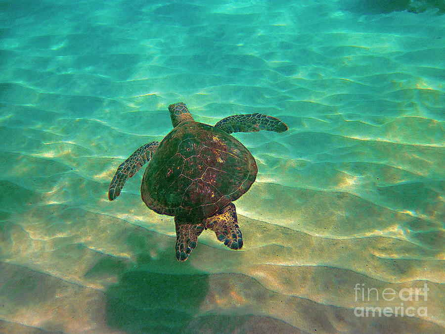Turtle Sailing Over Sand Photograph