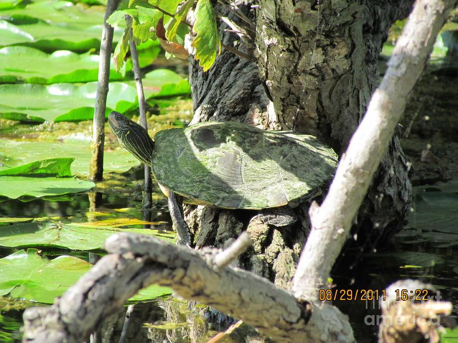 Turtle Sun Photograph