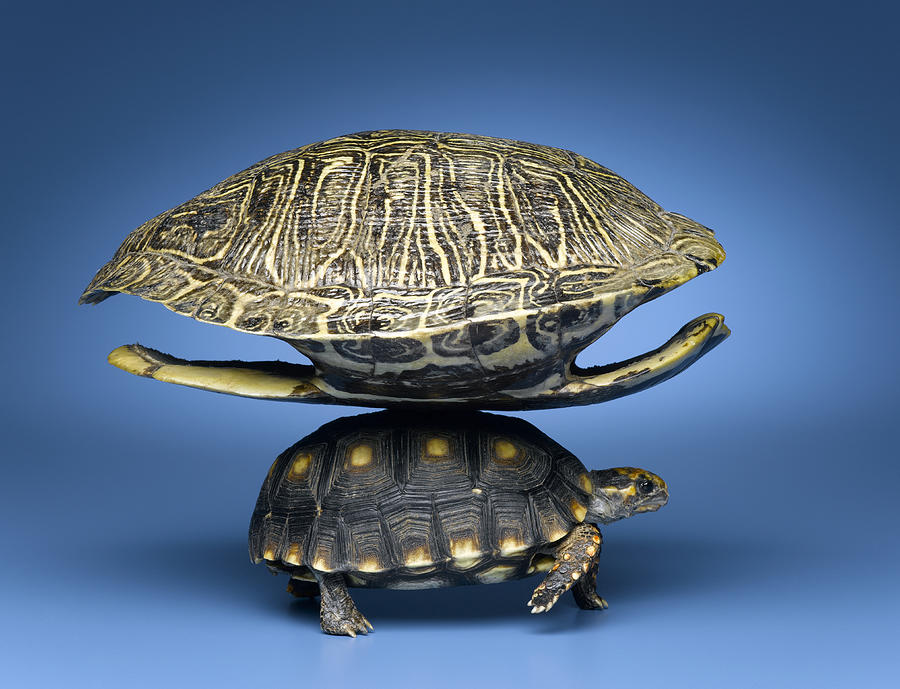 Turtle With Larger Shell On Back Photograph
