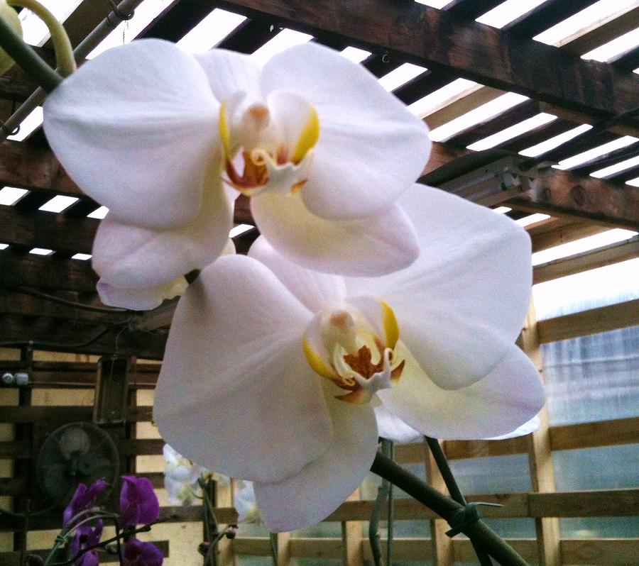 Beautiful White Orchids Photograph - Twin Beauties by Shawn Hughes