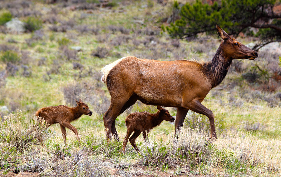 Twin Elk Calves is a photograph by Shane Bechler which was uploaded on ...