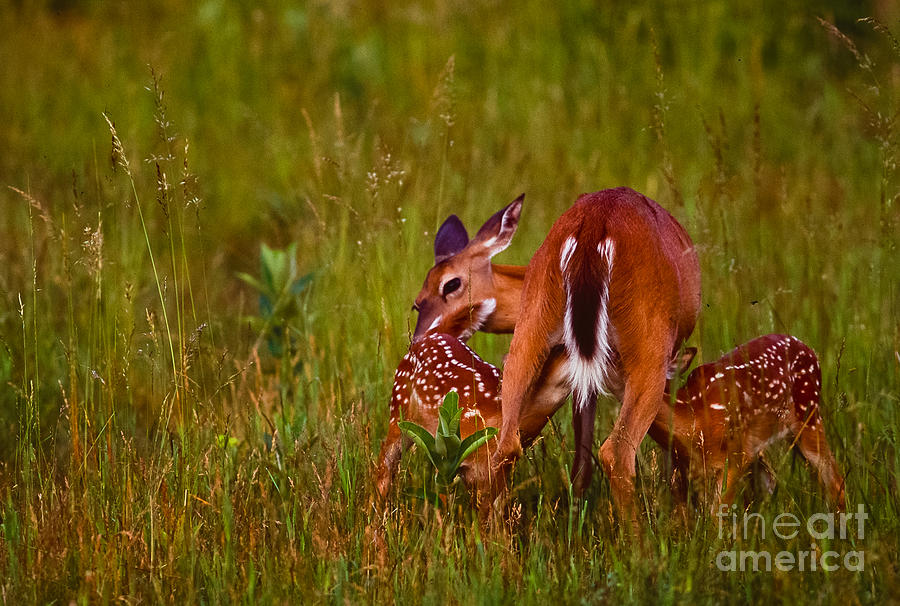 Twin Fawns Nursing Photograph
