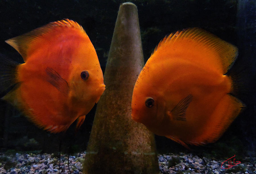 Twin Friends Malboro Fish  Photograph  - Twin Friends Malboro Fish  Fine Art Print