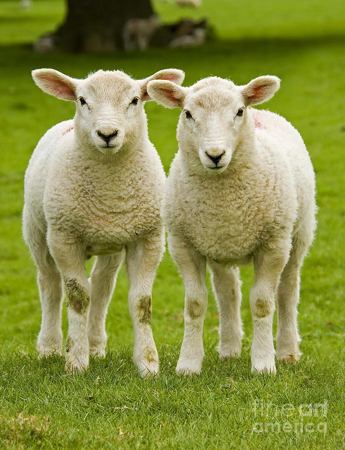 Twin Lambs Photograph