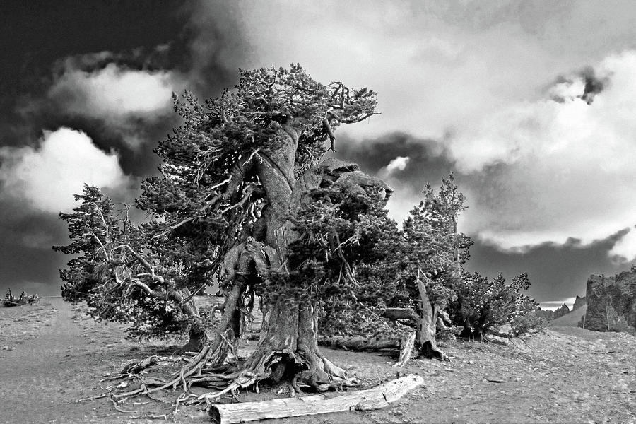 Twisted Old Bristlecone Pine Above Crater Lake - Oregon Photograph  - Twisted Old Bristlecone Pine Above Crater Lake - Oregon Fine Art Print