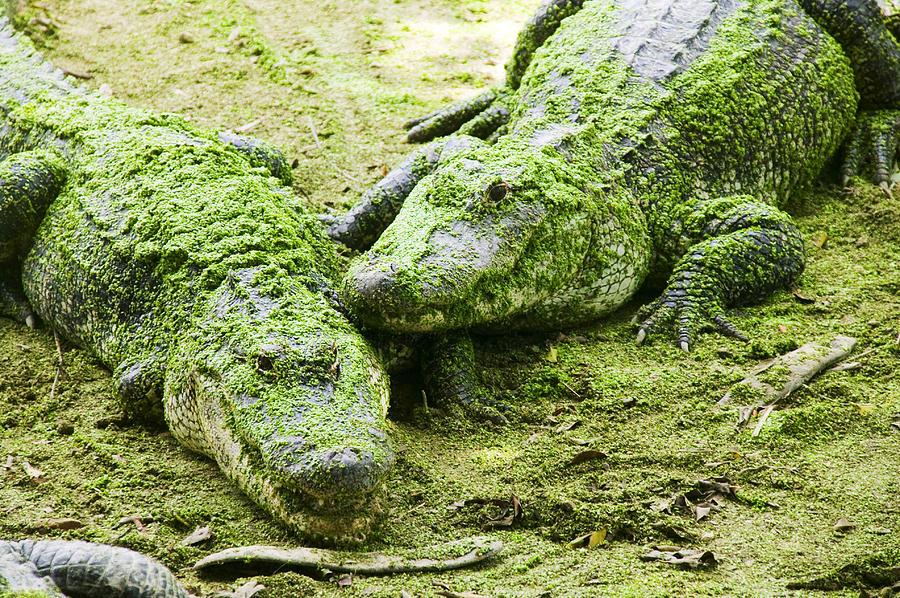Two Alligators Photograph