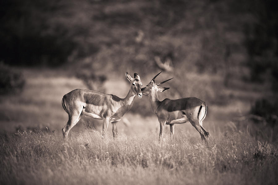 Two Antelopes Together In A Field Photograph