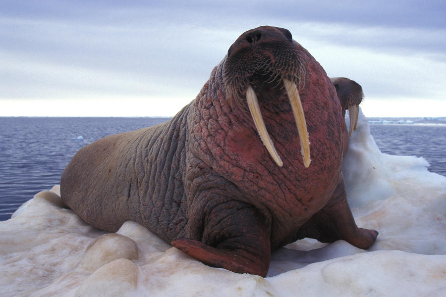 [Image: two-atlantic-walrus-bask-on-ice-nick-norman.jpg]