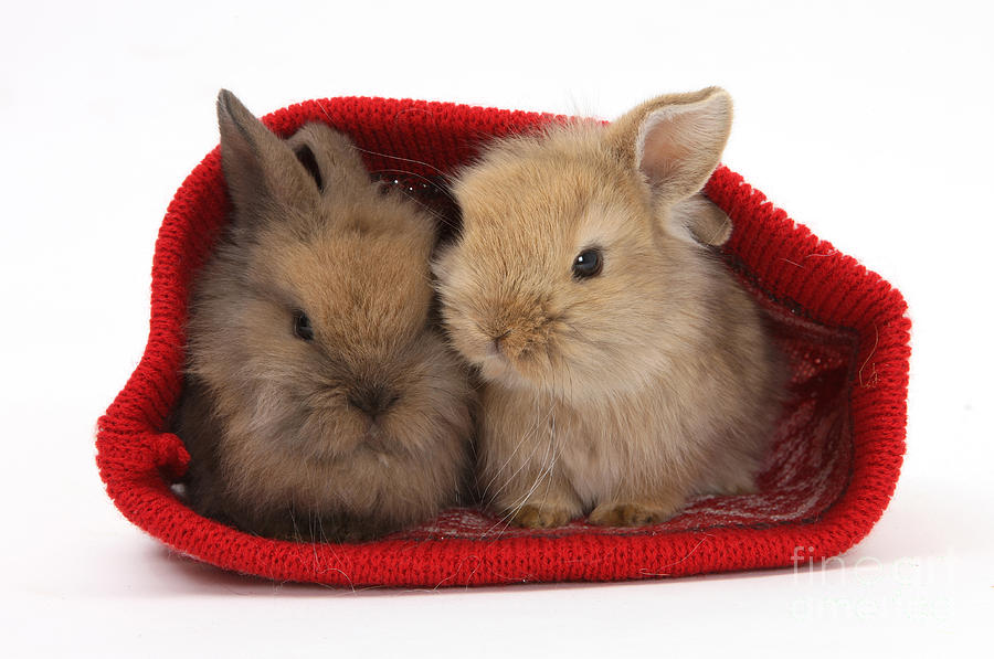 Two Baby Lionhead-cross Rabbits Photograph
