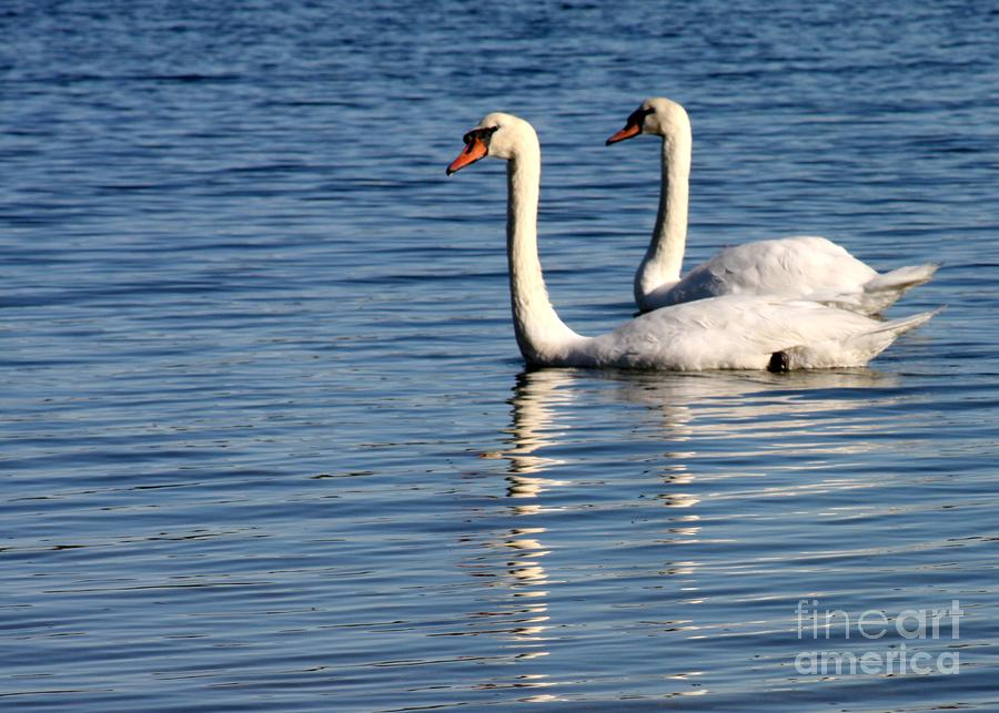 Two Beautiful Swans Photograph